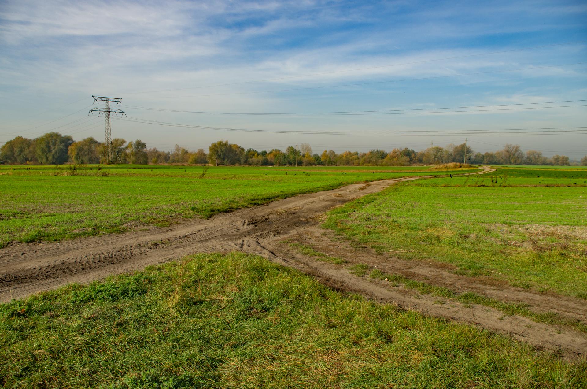 Stado gawronów i kawek na polu na Opolskiej Malinie
