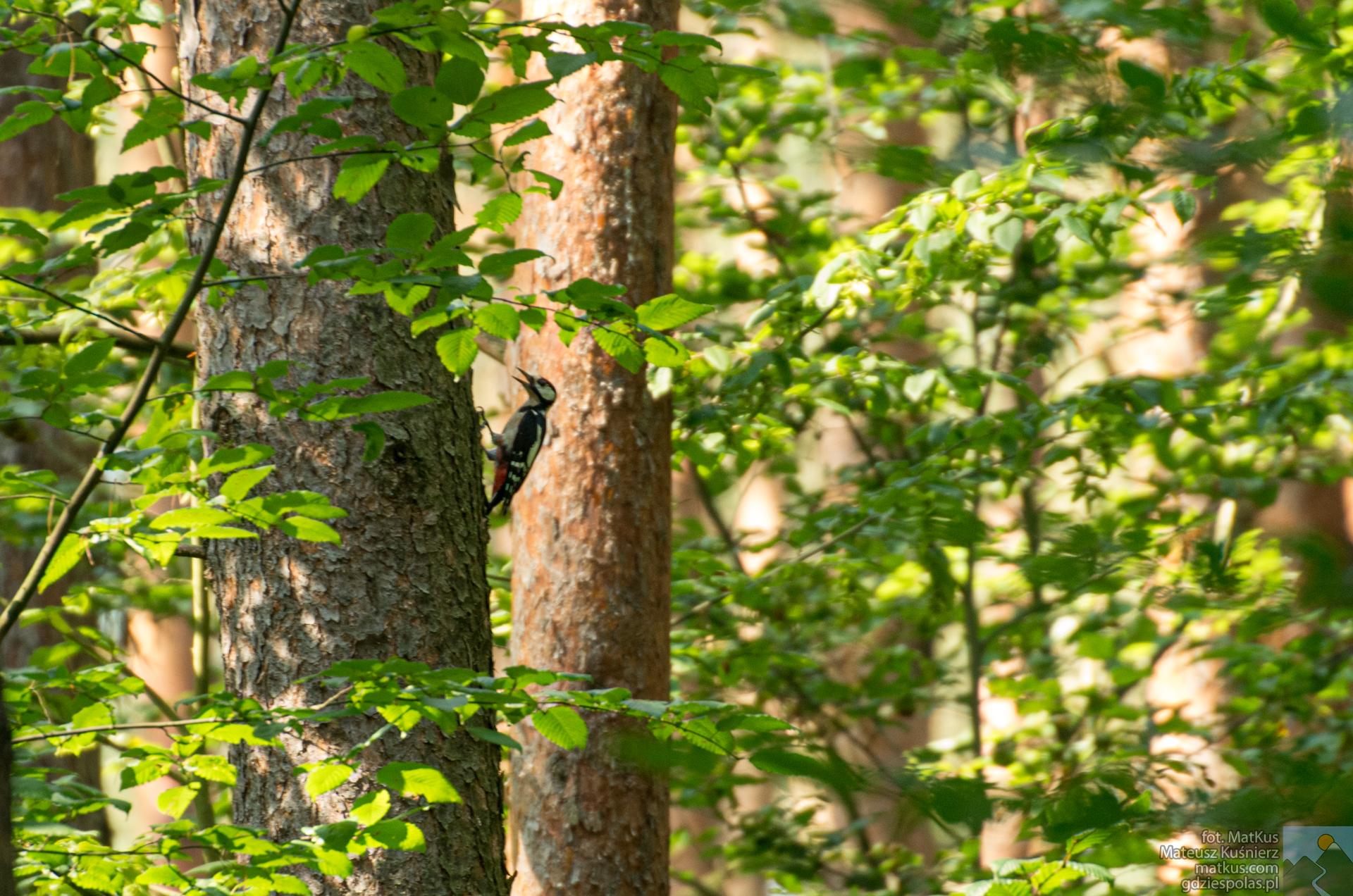 Rezerwat Lubsza, Nadleśnictwo Brzeg, Dzięcioł duży Dendrocopos major