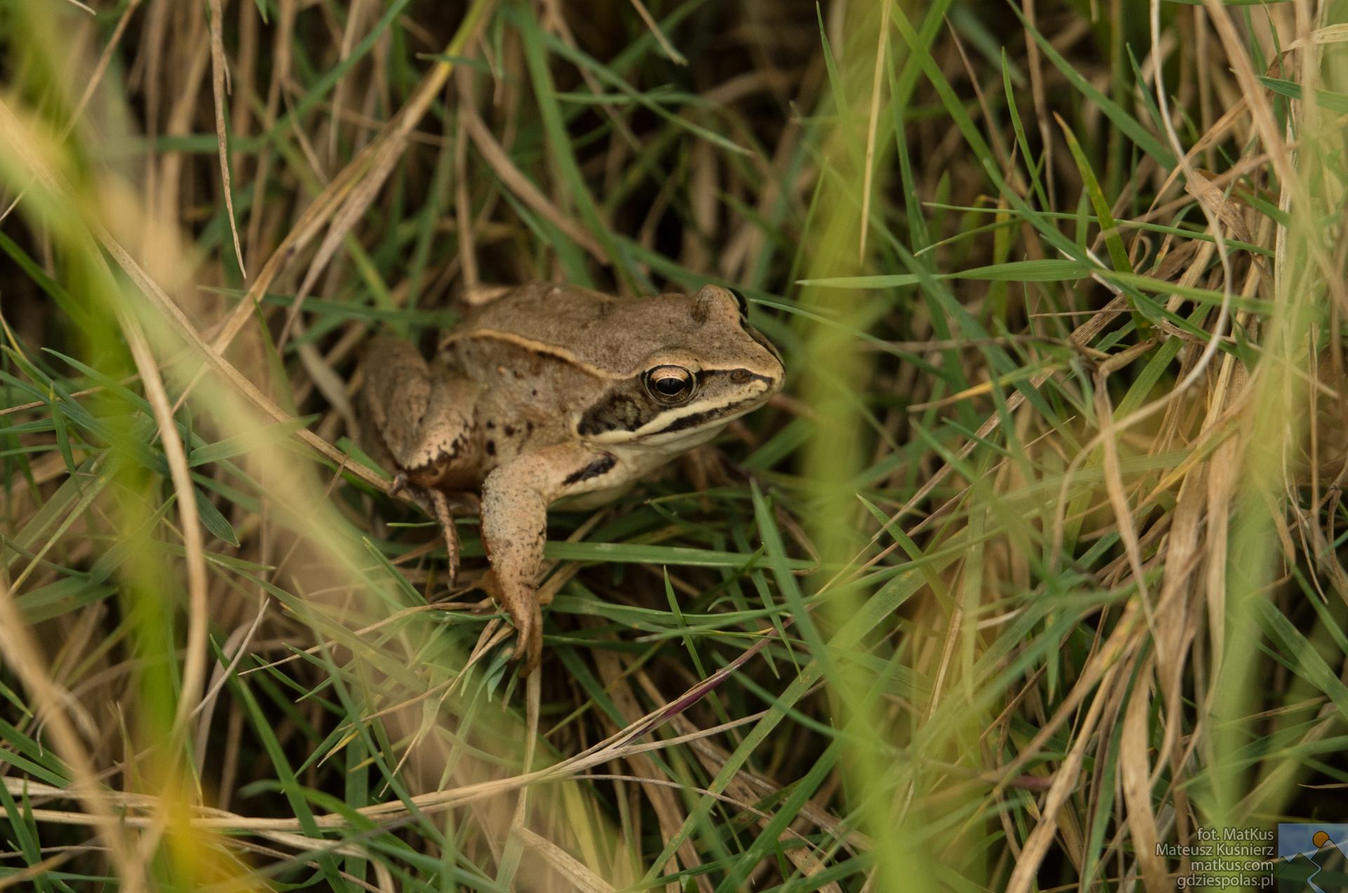 żaba trawna Rana temporaria